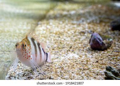 AMBLYCIRRHITUS PINUS in reef aquarium fish resting