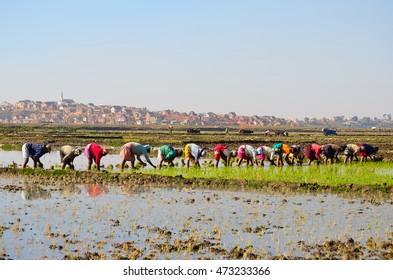 AMBOHITRIMANJAKA ANTANANARIVO, MADAGASCAR - SEPTEMBER 14, 2013: Women plant rice in the paddy field on September 14, 2013 in the flood plain of Betsimitatatra, Antananarivo, Madagascar