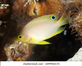 Ambon damsel in Bohol sea Philippines