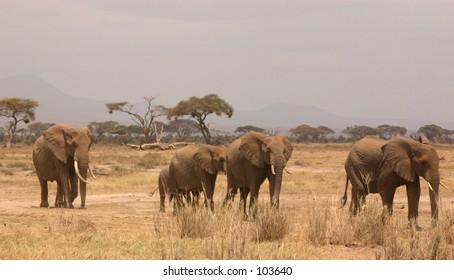 Amboseli ellis 1,04