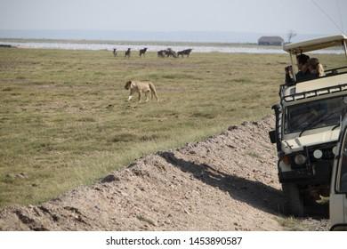 Amboseli, Kenya, June, 30, 2019: Lioness crossing between the 4x4 of tourists participating in a photo safari in Kenya