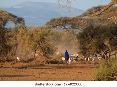 Amboseli Kenya march 21 2020 Year Masai shepherd with herd of goats in misty colour african light