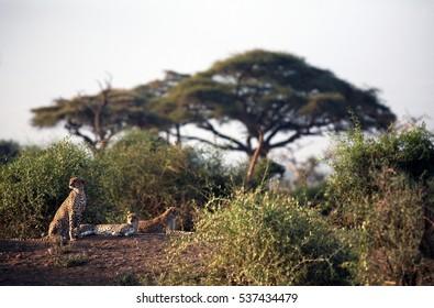 AMBOSELI NATIONAL PARK,  KAJIADO COUNTY/KENYA - FEBRUARY 6th 2009 - Three cheetah brothers in the late afternoon sun.