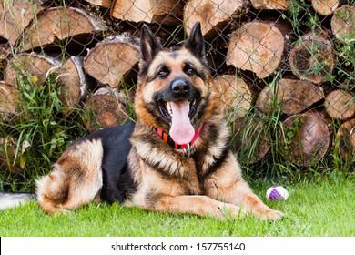 Ambra german shepherd