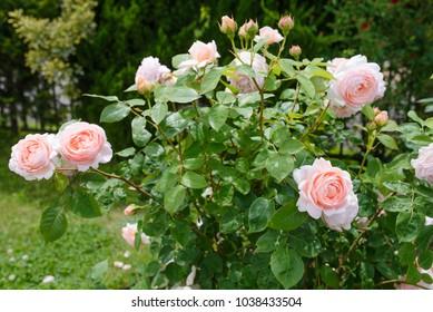 Ambridge Rose - English rose