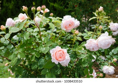 Ambridge Rose - English rose bush