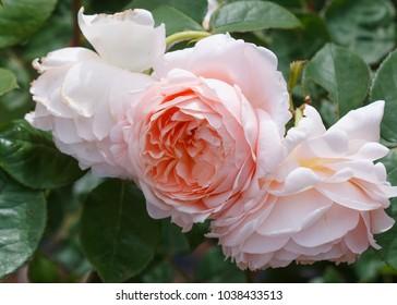 Ambridge Rose - English rose close up portrait
