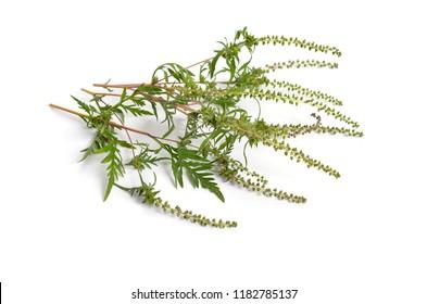 Ambrosia artemisiifolia, ragweed, annual ragweed or low ragweed. Isolated on white background