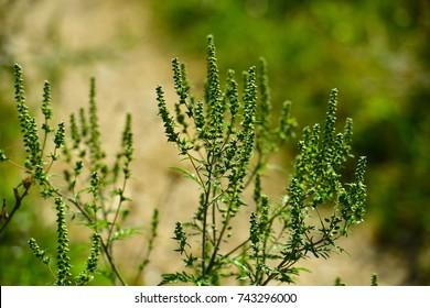 Ambrosia plant causes ragweed allergy