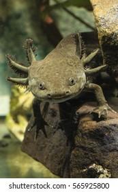 Ambystoma mexicanum, axolotl
