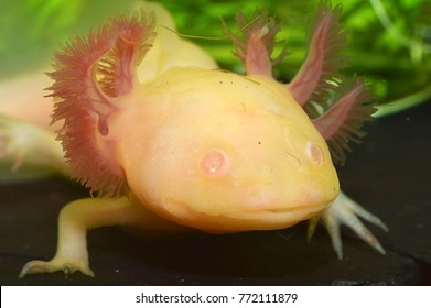 Ambystoma mexicanum (axolotl, albino variant), a neotenic salamander closely related to the tiger salamander (Ambystomatidae)