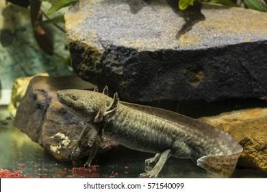 Ambystoma mexicanum, axolotl and red mosquito larvae.