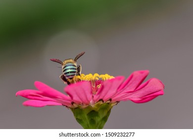 Amegilla cingulata, commonly known as banded blue bee