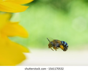 Amegilla cingulata known as blue banded bee hovering approaching sun flower