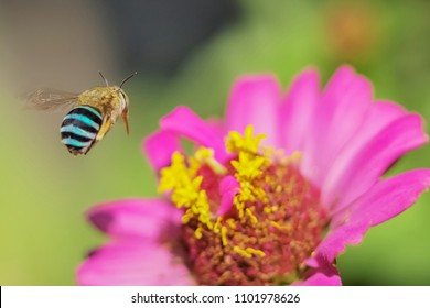 Amegilla cingulata known as the blue-banded bee flying with pink flower and green nature blurred background.