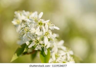 Amelanchier bush in bloom