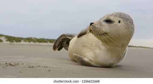 AMELAND. Common Seal - Gewone Zeehond - Phoca vitulina. AMELAND BEACH. DUTCH.