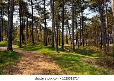 Ameland forest, netherlands, dennenbos,
