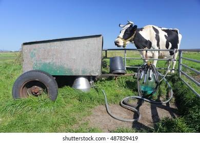 AMELAND, hollandishe cow