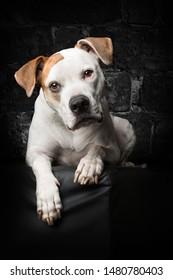Amercian Bulldog looking sweet at Studio