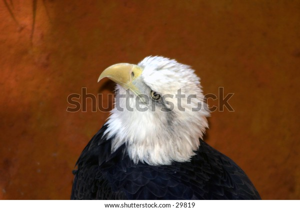 an amerian bald eagle looks up watching something that catches its intrest