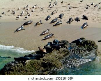 America Animals / Seal at Beach.