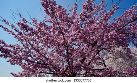 America DC/Cherry blossoms and blue sky.
