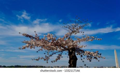 America DC/Sakura,Cherry blossoms of US-Japan friendship.Blue Sky.