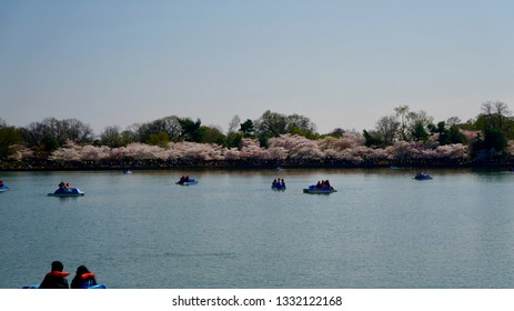 America DC/Sakura,Cherry blossoms of US-Japan friendship.Boat at Lake