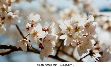 America DC/Sakura,Cherry blossoms of US-Japan friendship.Close-up.