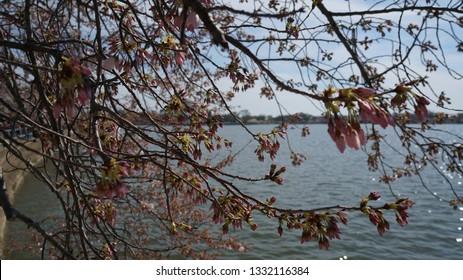 America DC/Sakura,Cherry blossoms of US-Japan friendship.closeup.