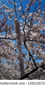 America DC/Sakura,Cherry blossoms of US-Japan friendship.Closeup