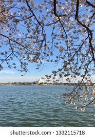 America DC/Sakura,Cherry blossoms of US-Japan friendship.Jefferson Monument.