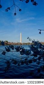 America DC/Sakura,Cherry blossoms of US-Japan friendship.SAKURA and National Monument.