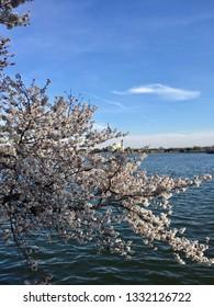 America DC/Sakura,Cherry blossoms of US-Japan friendship.Water front.