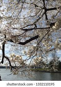 America DC/Sakura,Cherry blossoms of US-Japan friendship.waterfront.
