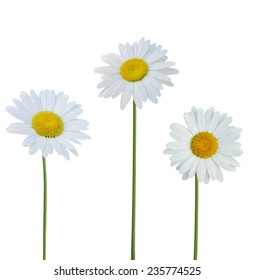 America flowers: Chamomile flowers isolated on white background