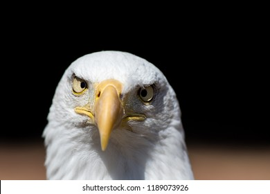 America gone mad. Cross-eyed American bald eagle in close-up. USA national bird. Conceptual image of the face of a bald eagle looking crazy at camera, apparently with crossed eyes.