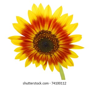 An America sunflower daisy