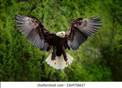 America wildlife. Bald Eagle, Haliaeetus leucocephalus, flying brown bird of prey with white head, yellow bill, symbol of freedom of the United States of America.