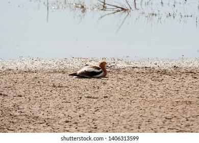 American Advocet Resting near pond