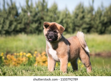 American akita cute puppy outside in the sun.