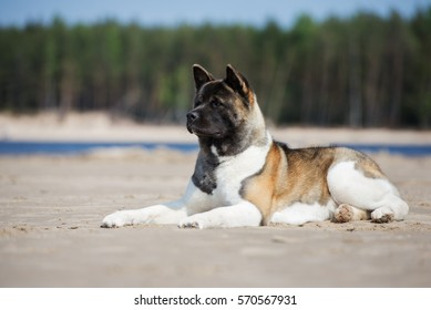 american akita dog lying down on a beach