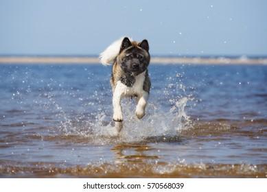 american akita dog on the beach