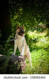 American Akita. dog on nature