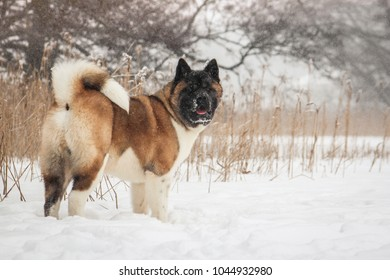 American akita dog posing in the snow outside.