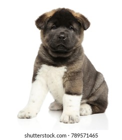 American Akita dog puppy sits on white background. Baby animal theme