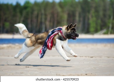 american akita dog running on a beach in a scarf