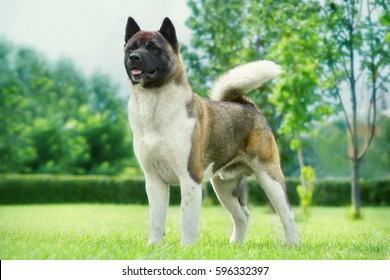 American Akita in the garden on the green lawn. Portrait of a dog's exhibition stand
