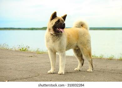 American Akita (Great Japanese Dog)